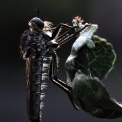 Geelbaardroofvlieg (Etolmus rufibarbis)