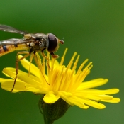 Zweefvlieg (fam.) (Syrphidae)