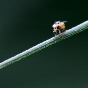Grasvlieg (Thaumatomyia notata)